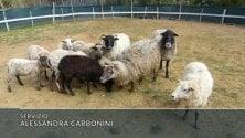 Una scuola per insegnare ai cani a guidare le pecore   di ALESSANDRA CARBONINI
