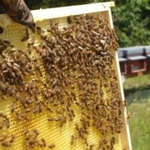 """Apicoltura ligure: azzerata la produzione di miele dalla """"pazza"""" primavera"""
