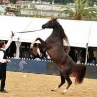 I cavalli purosangue arabi si esibiscono a Mentone
