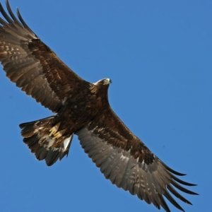 In val Roja un nido di aquila reale alla quota più bassa di tutti le Alpi