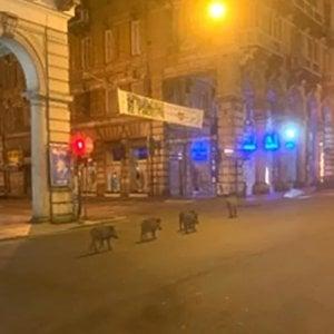 Il cinghiale urbano di Genova