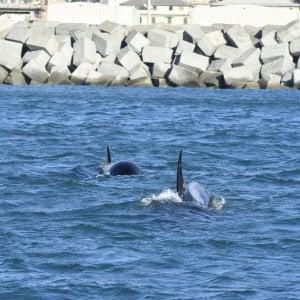 Genova, mamma orca si è arresa e ha abbandonato il cucciolo