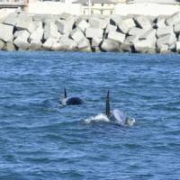 Genova, mamma orca si è arresa e ha abbandonato il cucciolo morto