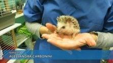 Il dottor Ugo, il riccio africano assistente veterinario a Marassi   di ALESSANDRA CARBONINI