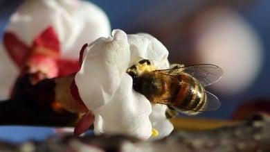Febbraio anomalo,  in montagna le api  sui fiori   di FABIO BUSSALINO