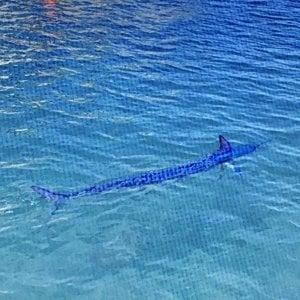 Acqua limpida a Portofino, il ritorno dell'aguglia imperiale