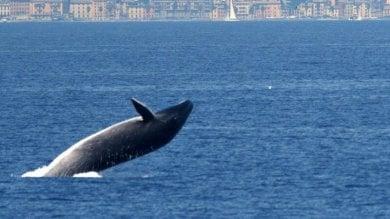 Il salto della balenottera al largo di Genova