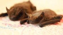 Notti in grotta  per studiare i pipistrelli  di Savona  Video     di ALESSANDRA CARBONINI