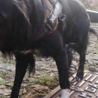 Il cane scappa, Sansa segnalato per violazione della quarantena