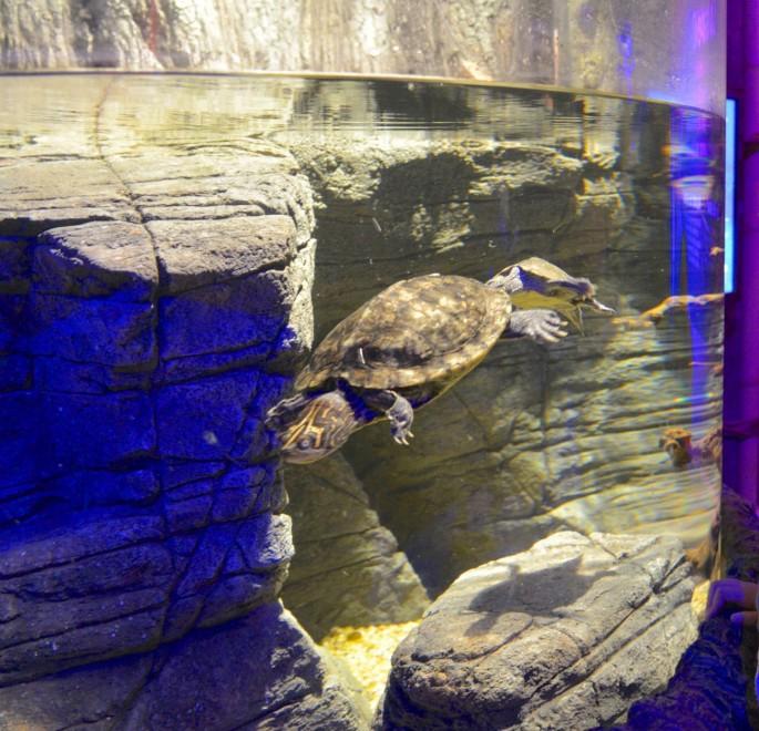 Gardaland l 39 acquario si popola di tartarughe rare 1 di for Acquario per tartarughe grandi
