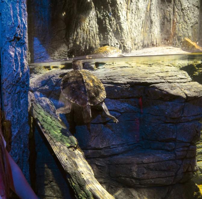 Gardaland l 39 acquario si popola di tartarughe rare 1 di for Acquario tartarughe grandi