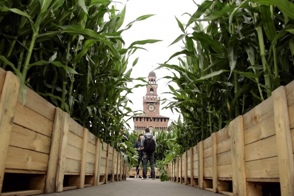 Milano, in pieno centro è spuntato un campo di mais