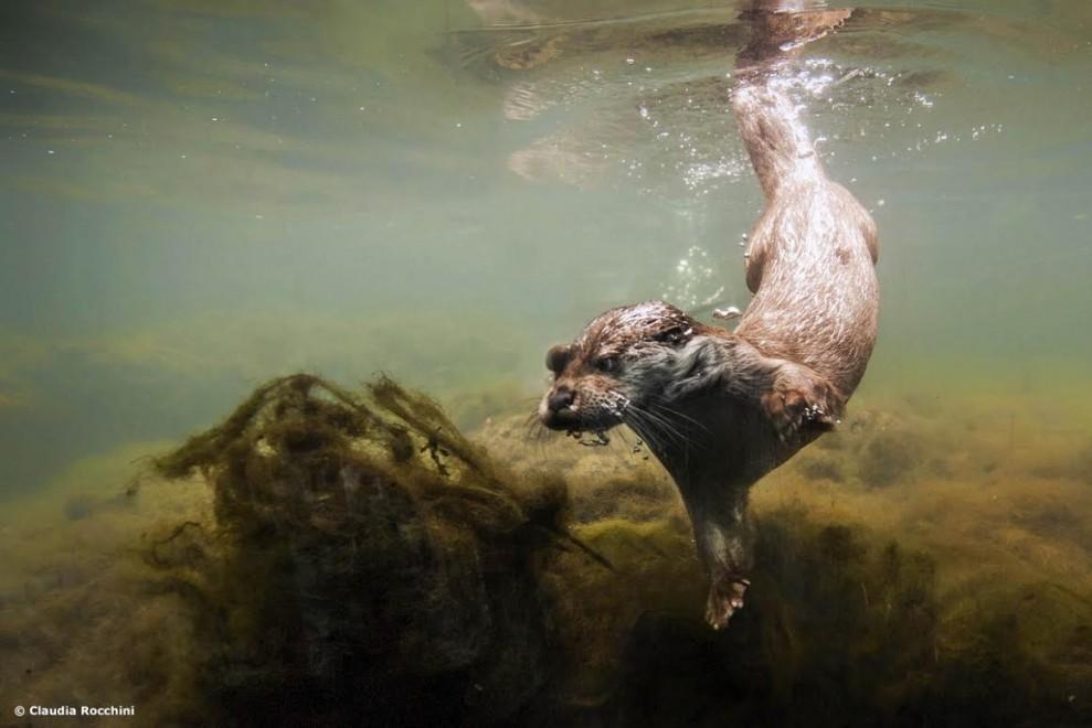 Lo show del pasto delle lontre: gli scatti sono sott'acqua