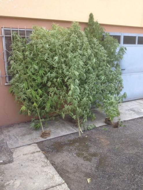 Pavia coltiva marijuana in giardino e 39 anti zanzare 1 di 5 milano - Contro le zanzare in giardino ...