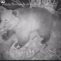 """Valtellina, 4 asini sbranati dall'orso MV25. Gli allevatori: """"Bisogna abbatterlo"""""""