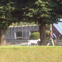 Como, a spasso con due capre: i vigili lo denunciano