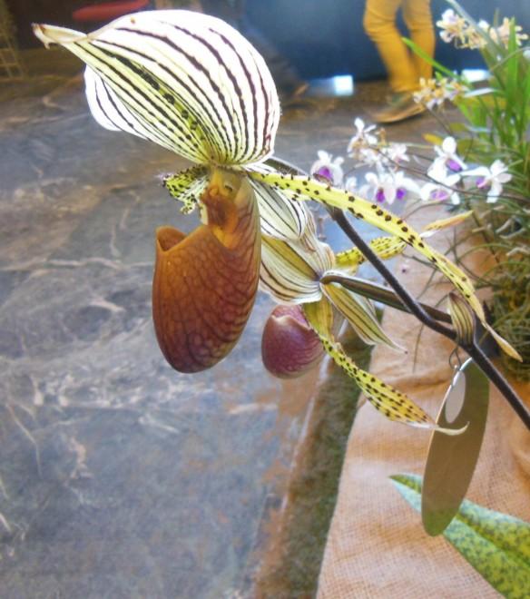 Varese, va in scena lo spettacolo delle orchidee