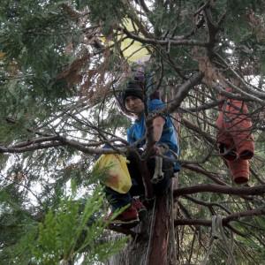 Varese, protesta sul cipresso e vince il primo round: il taglio degli alberi è stato sospeso
