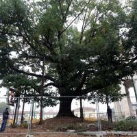 Piazza XXIV Maggio, i soccorsi alla quercia secolare