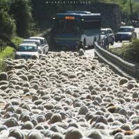 Sondrio, 800 pecore mandano in tilt la statale