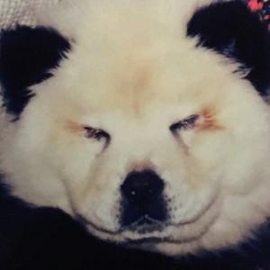 Brescia, blitz della Forestale al circo: due cuccioli di cane truccati e spacciati per panda