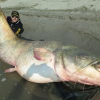 Pesca da record nel Po: il siluro è lungo quasi tre metri