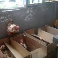 Milano, sgomberate due famiglie abusive: in casa c'era un allevamento con 50 polli