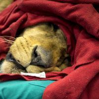 C'è un leone in sala operatoria: intervento record a Lodi con l'aiuto di un robot