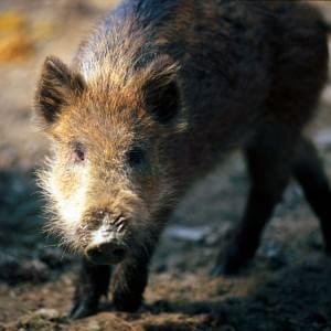 Brescia, spara a un cinghiale che stava rovinando il suo terreno: l'animale lo carica e lo uccide