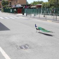 Milano, un pavone passeggia nelle strade della città deserta del weekend