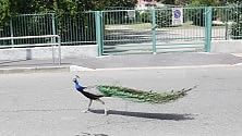 Un pavone passeggia  nelle strade della città