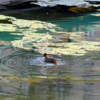 Milano, la Darsena soffre il caldo: invasa da alghe e mucillagini