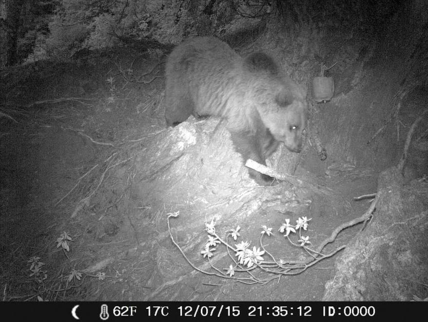 Fototrappola avvista l'orso 'biondo' della Valchiavenna