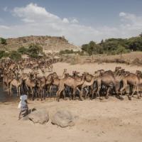 Latte di cammello, miele e caffè selvatico ecco la battaglia di Roba