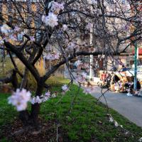 Milano, gli alberi in fiore tra il grigio dello smog