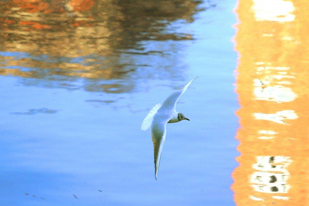 Milano, birdwatching in Darsena: rapiti dai gabbiani in volo
