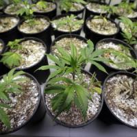Lombardia, cannabis terapeutica: la Regione dice sì. Gratis solo in ospedale