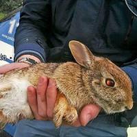 Milano, leprotto ferito salvato dalla polizia: la buona azione della volante Baggio