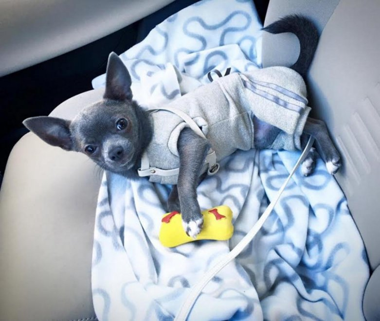 """""""Aiuto, ci hanno rubato anche il chihuahua"""": su Fb l'appello ai ladri per il raro cagnolino grigio-blu"""