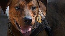 Fb si commuove per Toby il cane che nessuno voleva. Raccolta fondi  per il suo cuore malato