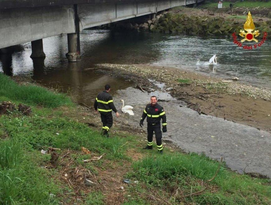 Varese, il cigno salvato dai pompieri ritrova la sua compagna
