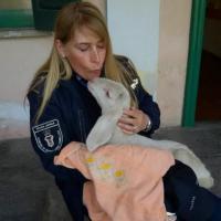 Nel Pavese, l'agnellino perde la mamma e il Comune lo adotta