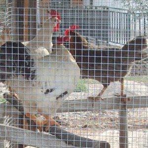 Vigevano, una balestra come antifurto al pollaio: ladro di galline colpito da una freccia, grave
