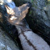 Canton Ticino, il salvataggio dell'asina intrappolata nel ruscello