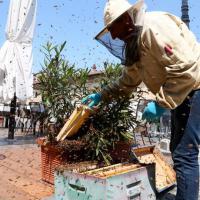 Vigevano, l'invasione delle api in piazza: a proteggere la regina ne arrivano 30mila