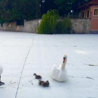 Lago d'Iseo, la famigliola di cigni ha scelto come casa la passerella di Christo