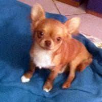 Animali, lo strano caso dei furti di chihuahua nel Pavese