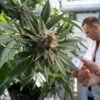Cannabis, il centrodestra si spacca: il Pirellone per due voti dice sì