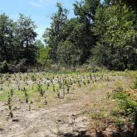 Droga, una piantagione di marijuana nel Parco del Ticino