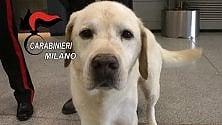 Linate, il labrador anti esplosivo Axel 'arresta'  il ladro di bagagli